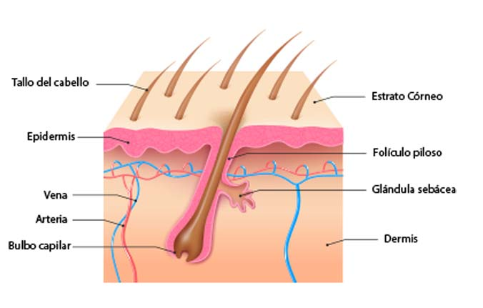 crecimiento dle cabello esquema capilar foliculo piloso caida cabello